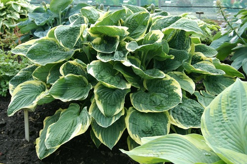 Hosta Christmas Tree – De Vroomen Garden Products | Professional