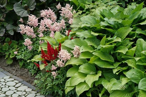 Hosta Royal Standard De Vroomen Garden Products Professional