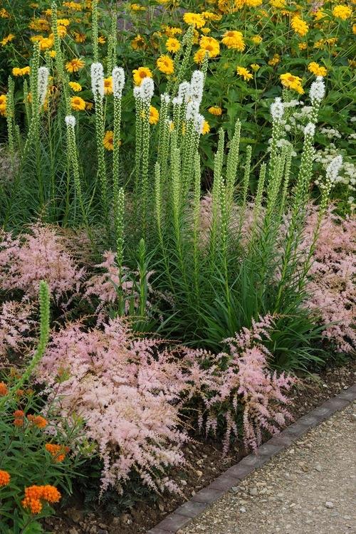 Liatris Spicata Alba De Vroomen Garden Products Professional