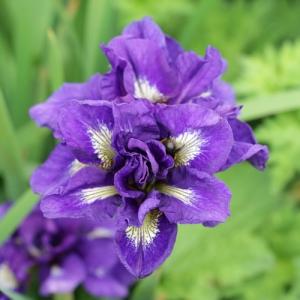 Iris germanica potted