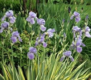Iris Pallida potted