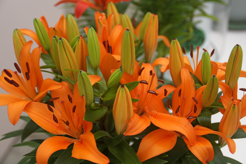 Lilium Matrix Orange Asiatic De Vroomen Garden Products