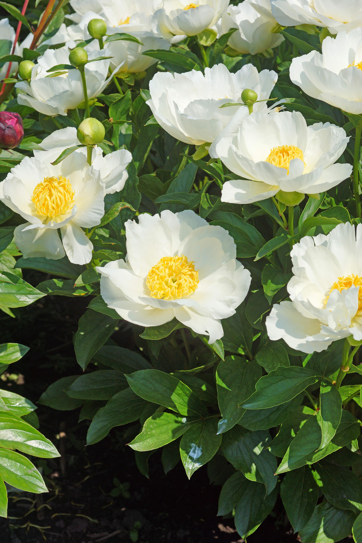 Paeonia Jan Van Leeuwen De Vroomen Garden Products