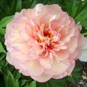 Intersectional (Itoh Peony)