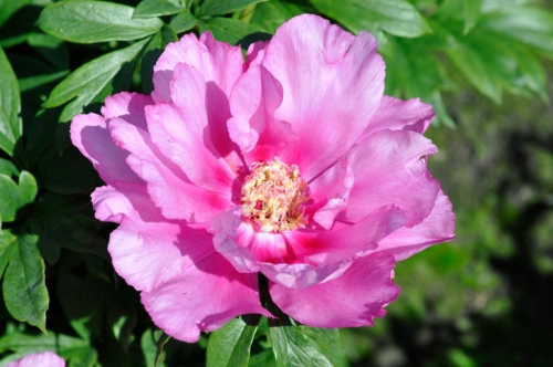 Paeonia First Arrival
