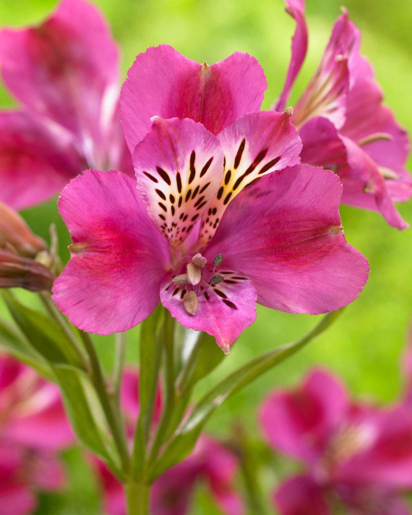 Alstroemeria majestic montsorau de vroomen garden products alstroemeria majestic montsorau izmirmasajfo
