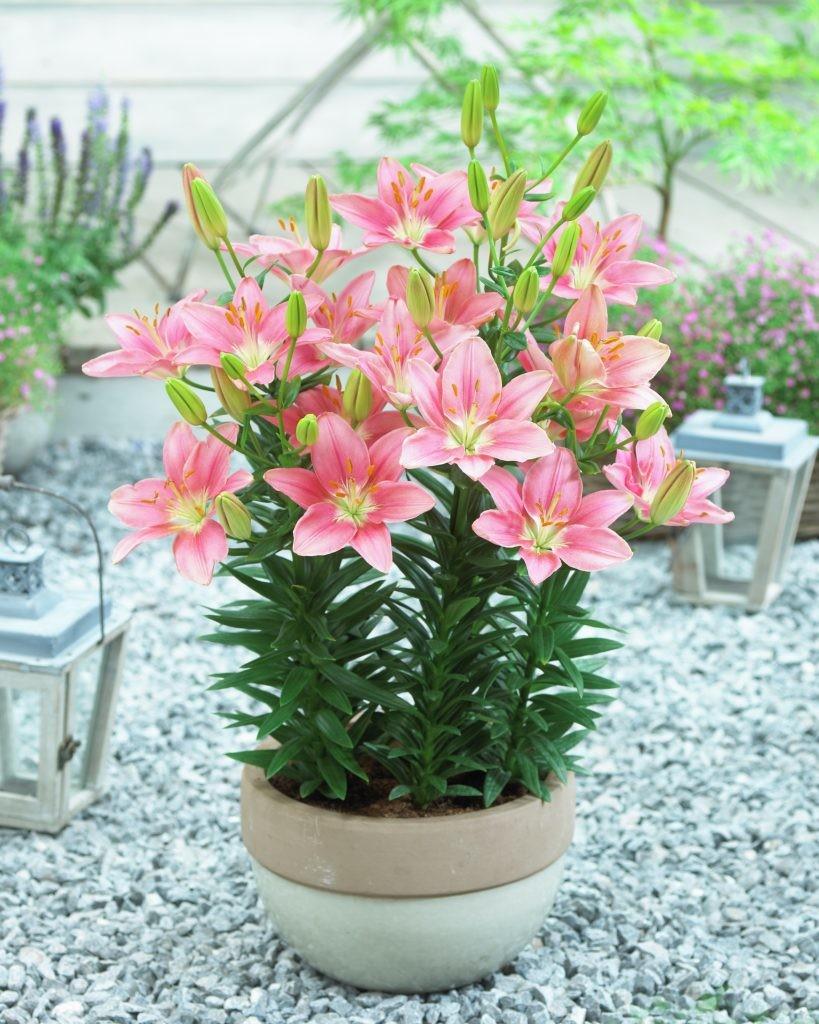 Lilium Foxtrot De Vroomen Garden Products Professional