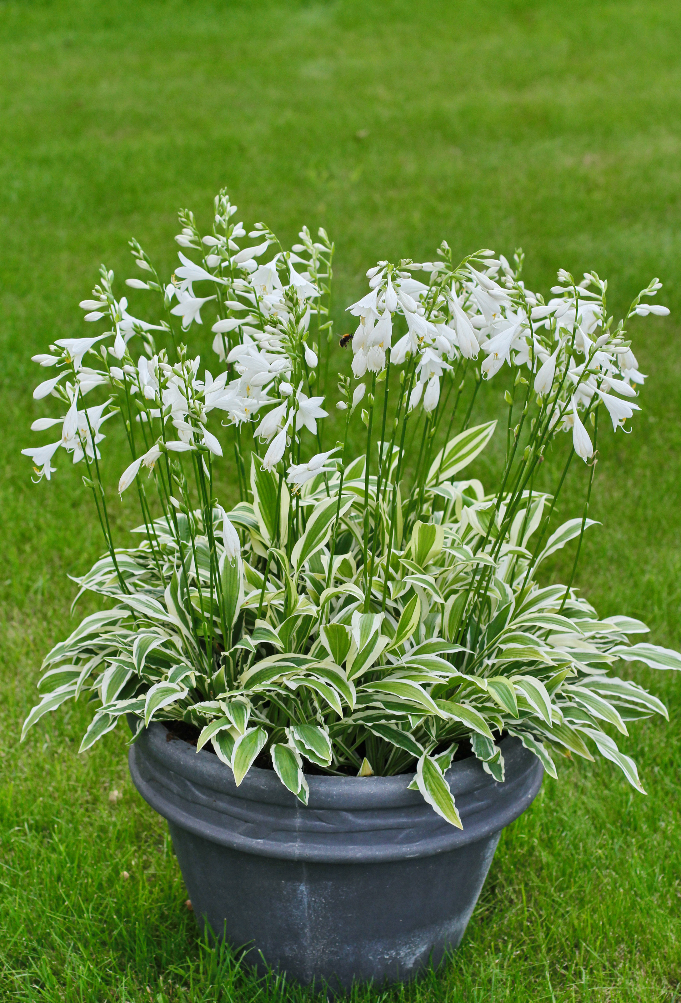 Hosta White Dove De Vroomen Garden Products Professional