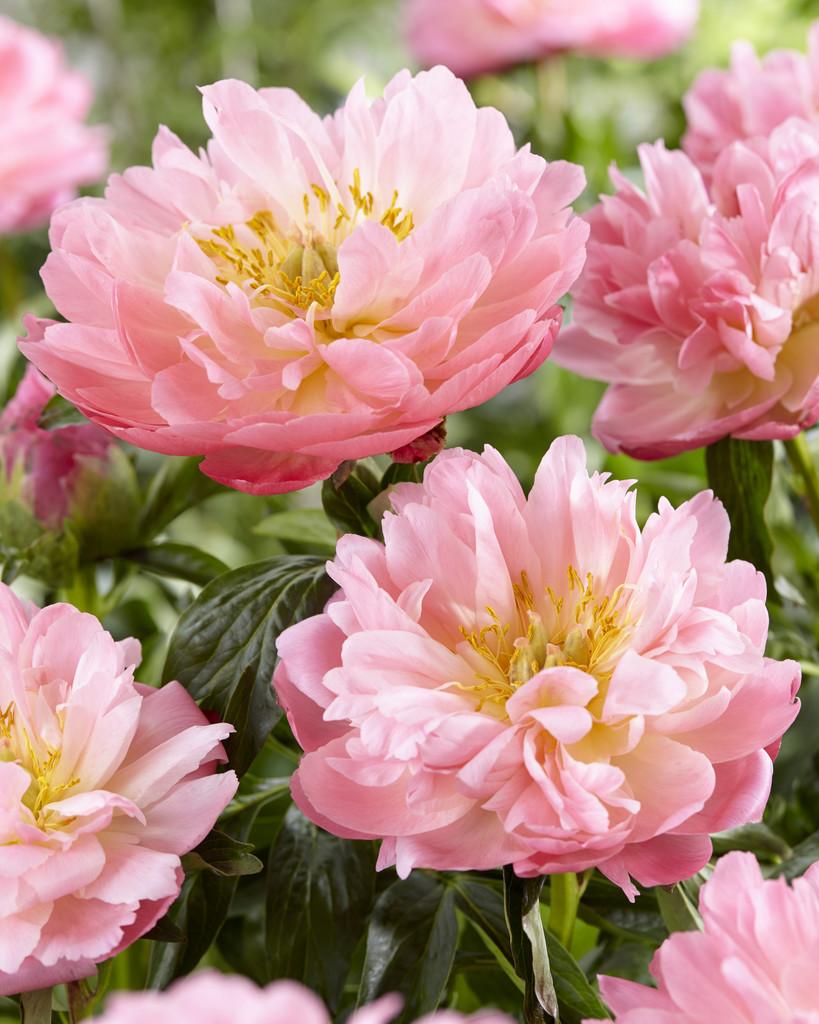 Paeonia Pink Hawaiian Coral De Vroomen Garden Products
